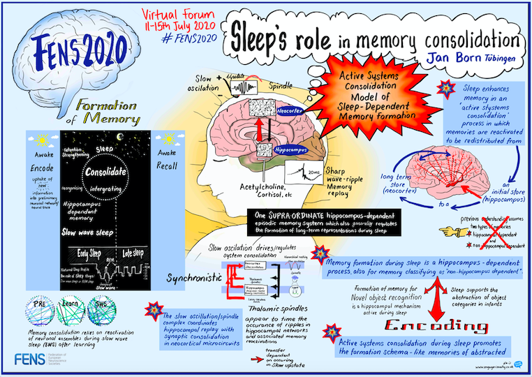 Sleep's role in memory consolidation